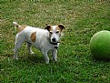 Picture Title - Jack Russell Terrier