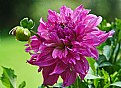 Picture Title - Dahlia with younger sibling