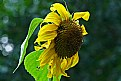 Picture Title - bedraggled sun