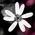 Picture Title - B&W Flower