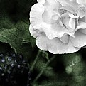 Picture Title - Rose and Leaf