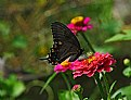 Picture Title - black swallowtail and zinnia lunch