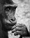 Picture Title - Western Lowland Gorilla