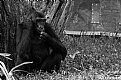 Picture Title - Western Lowland Gorilla Infant