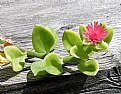 Picture Title - Ice Plant