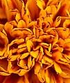 Picture Title - Marigold