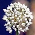 Picture Title - White Allium