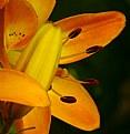 Picture Title - Lilium