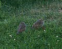 Picture Title - Baby Quail