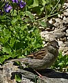 Picture Title - Sparrow In Spring