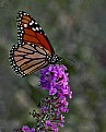 Picture Title - Monarch Butterfly 2018 II