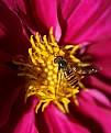 Picture Title - Hoverfly
