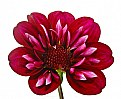 Picture Title - dahlia differently