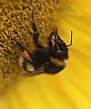 Picture Title - Bee and Sunflower