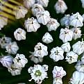 Picture Title - Allium