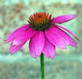 Picture Title - More Pink Echinacea