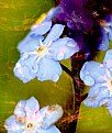 Picture Title - Forget-me-not