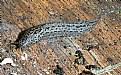 Picture Title - Leopard Slug