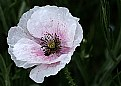 Picture Title - Pale poppy