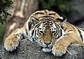 Picture Title - Amur tiger