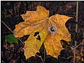 Picture Title - withered leaf