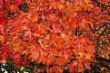 Picture Title - Red Orange Maple Leaves