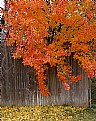 Picture Title - Fall Tree on Fence