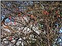 Picture Title - redberrybush