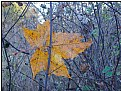 Picture Title - yellow leaf-still