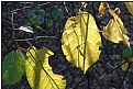 Picture Title - golden leaves