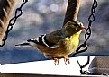 Picture Title - Am. Goldfinch