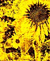 Picture Title - Yellow Sunflower