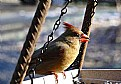 Picture Title - Lady Cardinal
