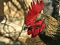 Picture Title - Rooster Rooster