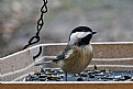 Picture Title - chickadee
