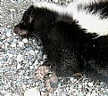 Picture Title - Skunk