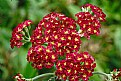 Picture Title - red yarrow