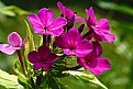 Picture Title - phlox phantasy