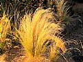 Picture Title - Golden Grass