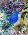 Picture Title - Blue Devil