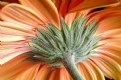 Picture Title - Gerbera Orangesicle