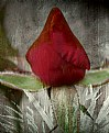 Picture Title - Red Rose