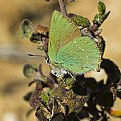 Picture Title - Green Hairstreak