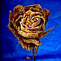 Picture Title - Rose