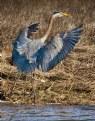 Picture Title - Graet Blue Heron