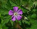 Picture Title - wild geranium