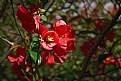 Picture Title - Flowering quince
