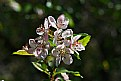 Picture Title - crab apple blossoms