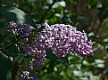 Picture Title - lilac