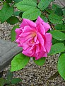 Picture Title - Pink Rose